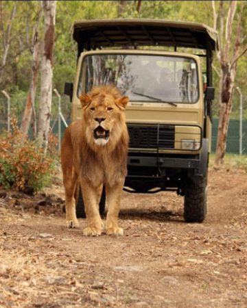 Walk with Lions